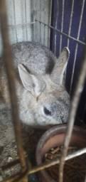 Mini coelho.