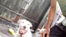 Vendo filho de pitbull de 8 mês  macho