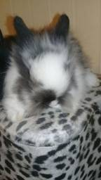 Últimos filhotes  mini coelhos