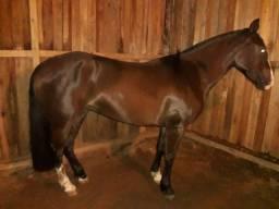 Égua crioula 6 anos sem papel