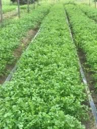Vende-se Cheiro Verde em grande quantidade