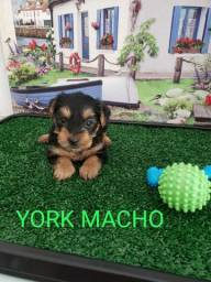 Yorkshire macho