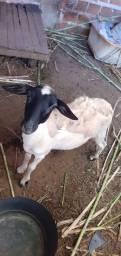 Título do anúncio: Vendo ovelha