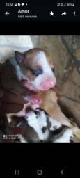 Título do anúncio: Vendo filhotes de pitbull moster com bulterier pais no local