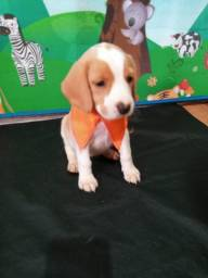 Bela das Belas beagles com pedigree
