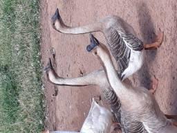 Vendo ganso africano