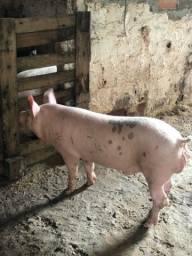 Título do anúncio: Porco Durox