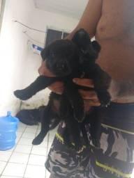 Labradores preto