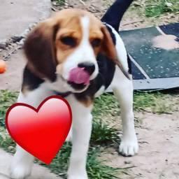 Filhote Beagle 7 meses