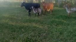 Vendo esse boi e essa vaca