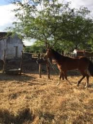 Cavalos Mangalarga e Quarto de milha