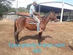 Cavalos e éguas baratas mais informações no watts 043984826954