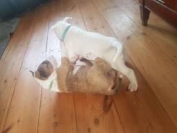 Bull Terrier machos e fêmeas disponíveis!! vacinados e vermifugados