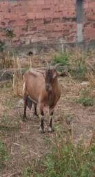 Cabra Pardo Alpina