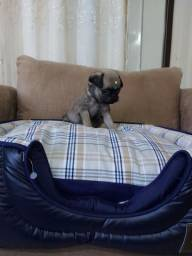 Mini pug macho