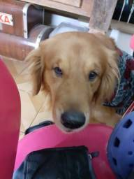 Procuro golden retriever para cruzar