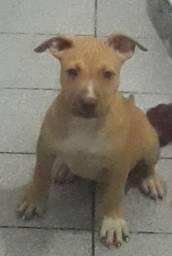 Filhote de American pit bull terrier fêmea caruaru