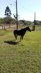 Cavalo Criolo Para Montaria