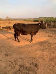 Vacas de leite paridas