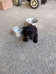 Vendo filhote de poodle barato