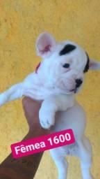 Título do anúncio: Bulldog francês fêmeas
