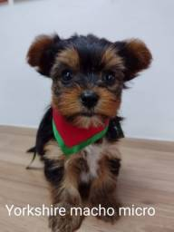 Explendidos filhotes de yorkshire terrier