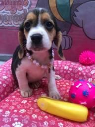 Beagle macho e fêmea disponível