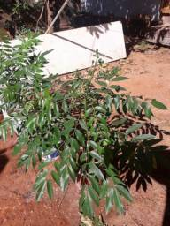 Mudas de cajamanga anão prestes a produzir.