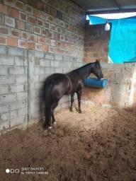 Título do anúncio: cavalo inglês x quarto de milha