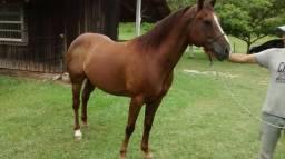 Cavalo Quarto-de-Milha