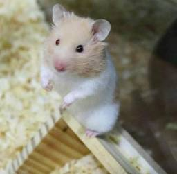 Hamsters bicolor