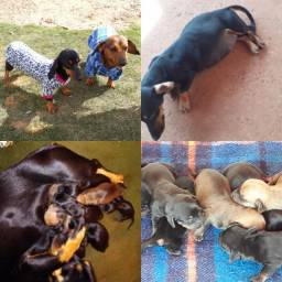 Filhotes de dachshund disponivel