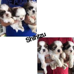 Shihtzu com pedigree e microchip até 12x