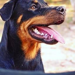 Vendo uma cachorra Rotterweiler