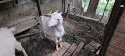 Título do anúncio: Vende-se um Casal de Cabra e Bode
