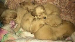 Lindos bebês Golden retriver