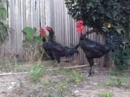 Troco por três galinhas Mouras.