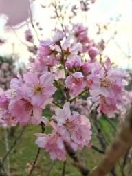 Título do anúncio: Mudas Cerejeira do Japão - (Sakura)
