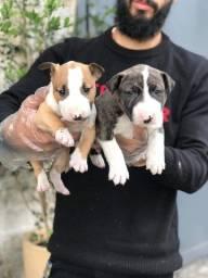 Bull terrier filhotes lindos pronta entrega