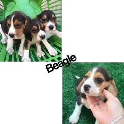 Beagle 13 polegadas com pedigree e microchip até 12x
