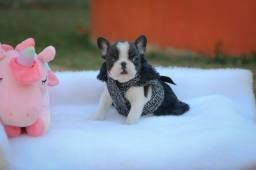 Bulldog porte pequeno