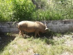 Vendo porco caipira de todos os tamanhos.