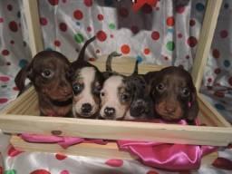Teckel dachshund machinhos