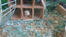 Filhotinho de esquilo da Mongólia