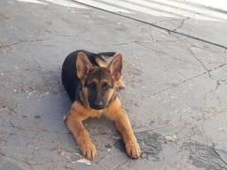 Vende uma cachorra pastor alemão capa preta entre em contato