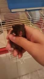 Vende-se Hamsters