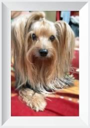 Procuro namorada yorkshire terrier