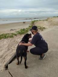 Procuro Rottweiler macho com Pedigree para cruza.