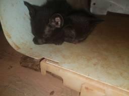 1 filhote de gato (preto fêmea)