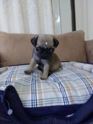 PUG MACHO MINI